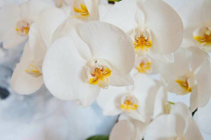 Orkidé - A.Brask