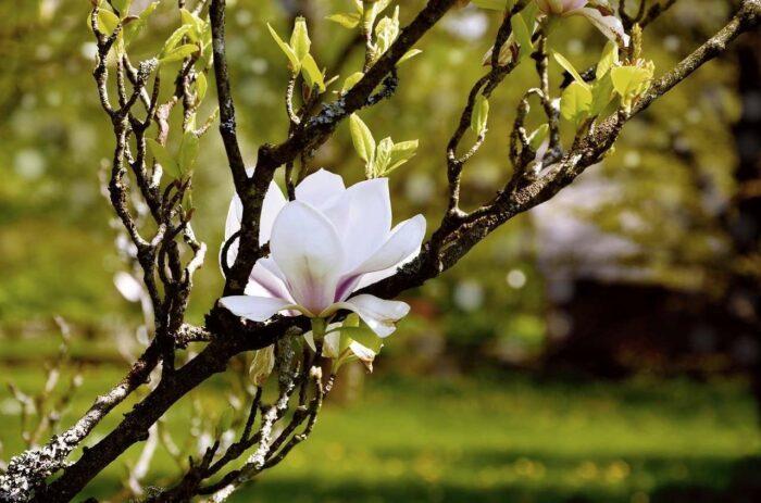 Vit blomma magnolia - A.Brask