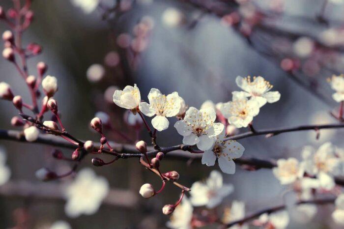 Blommande gren - A.Brask